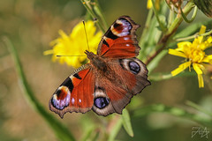 Aglais io (Photos by Azph) Tags: macro macrophotography animals animal insect insects butterfly butterflies