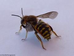 Anthidium manicatum, male (Orlando Bees) Tags: megachilidae carder bee wollbiene abeja cardadora solitarybee solitärbiene abejasolitaria abeille