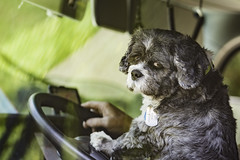 20170901_F0001: Jake the co-driver (wfxue) Tags: pet dog tag nametag truck lorry wheel steeringwheel vehicle candid paw animal portrait