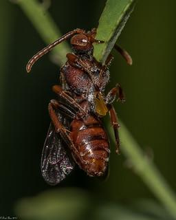 Red Cuckoo Bee [Nomada sp.]