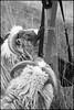 Checking Out the Camera Gear (Eline Lyng) Tags: bw blackandwhite monochrome monochrom sheep lamb gammelnorskspælsau norway cameragear camerabag farm farmanimal leica leicam240 m m240 aposummicron50mmf2 leicalens rangefinder 50mm littledoglaughednoiret