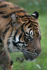 une petite faim (danse2f) Tags: tigreblanc 2017 nikon septembre zoodecerza cerza 300mmf4pfafsvr zoo tigredesumatra photoaccess d500 albumdédié