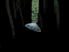 Mother-of-Pearl (Pleuroptya ruralis) (sam2cents) Tags: moth lepidopterid lepidoptera night flowers flowerspikes entomology motherofpearl pleuroptyaruralis august garden beautiful shimmering shining tongue hollyleavedsweetspire iteailicifolia