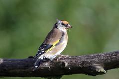 IMGP4124a Goldfinch, Welney Washes, September 2017 (bobchappell55) Tags: welneywashes wwt nature wild wildlife goldfinch bird