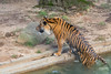Tiger Getting Out of Pool at the Washington DC National Zoo (Jersey Camera) Tags: washingtondcnationalzoo zoo tiger sumatrantiger carnivore pantheratigrissumatrae