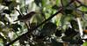 Boscarla de canyar. (José Manuel, thanks for +450,000 views) Tags: pantàdelarròs boscarladecanyar acrocephalusscirpaceus boscarla warbler carricero carricerocomún reedwarbler ocells aus aves pájaros birds canon50d sigma150500