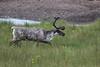 Reindeer at Höfn S24A9716 (grebberg) Tags: southiceland iceland july 2017 höfn reindeer rangifertarandus rangifer mammal