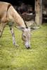 Burro Pastando (hipperbyte) Tags: brazil fotografia marceloconceição animal bahia brasil burro canon6d capim donkey jegue jumento landscape pastando photograpy reconcavo