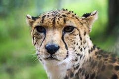 Cheetah 25th aug 17 (5) (R.J.Boyd) Tags: chester zoo animals wildlife exotic mammals park big cat feline hunter predator claws pattern cheetah spots africa