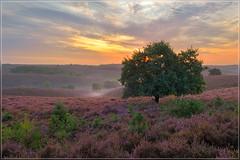 Het boompje van de Posbank (jos.pannekoek) Tags: posbank veluwe nederland landscape landschap heide d500