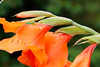 02082017_hs_0001_mL (speschlphotography_art) Tags: jiminy grille macro garten insekt blüte blume pflanze flower plant beine fühler zirpen rot grün red green hüpfen springen jump 2017 200917b