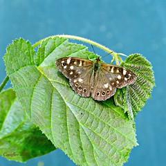 Bont zandoogje - Speckled wood - Pararge aegeria (Cajaflez) Tags: vlinder insekt speckledwood bontzandoogje ngc coth5 ruby10