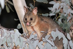 Common Brushtail Possum (Trichosaurus vulpecula) (Heleioporus) Tags: common brushtail possum trichosaurus vulpecula riverina new south wales