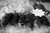 preaching to the choir (pamelaadam) Tags: aberdeen animal digital scotland summer thebiggestgroup fotolog august 2017 visions meetup bw fish seabass