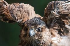 Saker falcon  (Falco cherrug) - raróg (tomaszberlin) Tags: animal bird raptor captive exhibition birdofprey nikon d500 bokeh portrait