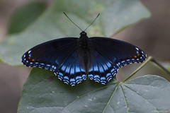 Butterfly 2017-121 (michaelramsdell1967) Tags: leaves forest beauty nature macro blue animals bokeh beautiful closeup leaf animal pretty green insect black vivid insects woods wildlife zen wild detail vibrant bug butterflies bugs wilderness upclose butterfly