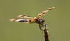 Halloween Pennant Dragonfly (ksblack99) Tags: halloweenpennant dragonfly waterloo michigan insect