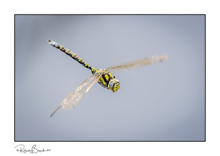 Southern Hawker Dragonfly (Aeshna cyanea) in flight - full frame