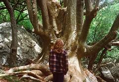 Ancestral tree: this is an ombú. (Hijo de la Tierra.) Tags: nature film analog 35mm vintage old woods forest arequita uruguay bosquedeombúes lavalleja hijodelatierra agustíngaleano travel trip