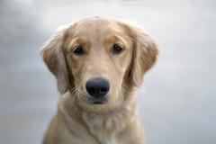 Riley 9-8-17 (age 5 months) (Peeb-USA) Tags: dog animal pet nature golden goldenretriever sweet puppy film nikon nikonfe fuji superia 35mm