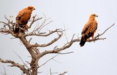 Where Eagles Dare. (pstone646) Tags: eagles birds nature animal tree wildlife africa fauna feathers two raptors birdsofprey namibia