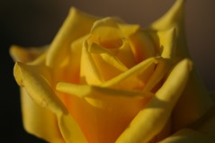 Rose 'Golden Emblem' raised in USA (naruo0720) Tags: americanrose rose emblem goldenemblem americanrosecollection 薔薇 バラ アメリカのバラ エンブレム ゴールデンエンブレム アメリカのバラコレクション