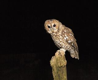 Wild Tawny Owl