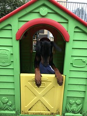 In The Dog House - Black and Tan, Male Doberman Pinscher Saxon (firehouse.ie) Tags: saxon pinscher pinschers dobermann doberman dobermanns dobermans dobeys dobey dobies dobie dobes dobe