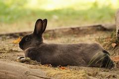 Toki, lounging (Tjflex2) Tags: toki rabbit bunny lagomorpha lapin conejo