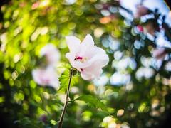 Swirly (rickmcnelly) Tags: flower bokeh plant swirly kernpaillard switar 25mm14 ar gx8 kernpaillardswitar25mm14ar