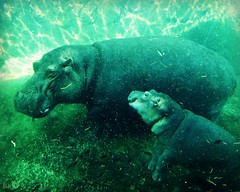 Bibi and Fiona (blamstur) Tags: bibi fiona hippos animals mammals zoo thecincinnatizoo underwater two