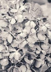 Hydrangea macrophylla (ProPeak Photography - Thanks for 900,000 views!) Tags: america bw famousplace flora flower hydrangea internationallandmark macro monochrome nationalarboretum northamerica places summer texture touristattraction traveldestination travelandtourism usa unitedstates washingtondc
