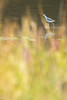 Avocette élégante (Richard Holding) Tags: recurvirostraavosetta avocet avocette bird cerknica lac lake m43 nature oiseau olympus omd piedavocet slovenia slovenie