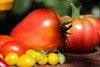 CKuchem-5589 (christine_kuchem) Tags: bauerngarten biogarten bioqualität ernte erntezeit fleischtomate garten gemüse gemüsegarten grün nutzgarten pflanze rarität sommer sorte sorten sortenvielfalt tomate vielfalt bio biologisch frisch gelb gesund lecker natürlich orange reif rot selten unbehandelt