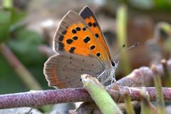 A fiery butterfly (herman hengelo) Tags: lycaenaphlaeas macro kleinevuurvlinder garden hengelo thenetherlands canoneos60d