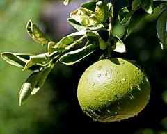 Grapefruit with water droplets (mariposa lily) Tags: grapefruit grapefruits fruit fruittree fruittrees citrus citrustree citrustrees green greenery garden gardening nikon nikond3300 d3300