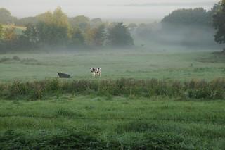 Vier Kühe im Blick - wo sind die übrigen?; Bergenhusen, Stapelholm (57)