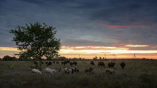 Landscape with cows and goats