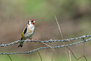 Gold Finch - on wire