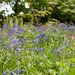 Red Campion and Bluebells  in Polar Wood