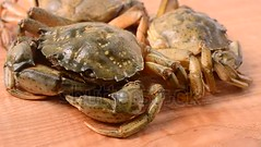 Shooting of live crabs. (daria.boteva) Tags: animals armor arthropod background board claw close crab crablegs crabbing crustacean delicacy delicious diet fish fishing food fresh legs live meal nature pothouse proteinbeer pub raw river sea seafood shell shellfish snack wild wooden