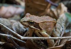 Frog (andgot1) Tags: outuno montanha mountain montanhas rã sapo anfibio frog forest leaves tree trees brown folhas macro natur natureza