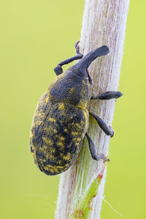 A True Weevil