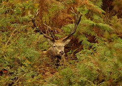 red deer stag longshaw estate peak districr uk 2017  (14) (Simon Dell Photography) Tags: simon dell photography sheffield nature wildlife animals peak district national park longshaw estate 2017 autumn fall red stag deer rutt wild majestic large male female big moor white edge hope valley september