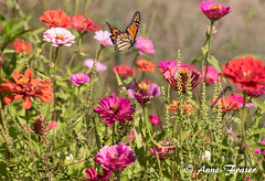 To plant a garden is to believe in tomorrow. –Audrey Hepburn (Anne Marie Fraser) Tags: flower garden macro butterfly monarch plant beautiful summer summertime believe monarchbutterfly fly flight zinnias