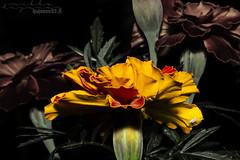 Simple. (53Hujanen) Tags: lappeenranta suomi finland skandinavia scandinavia flower flowers kukka kukat kesä summer canon canoneos700d canonef100mmf28lisusmmacro luonto nature