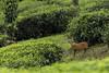 Barking Deer (varmarohit) Tags: barkingdeer westernghats india southindia naturephotography nature naturephotograph wildlifephotography wilderness wildlife wildindia rohitvarma rohit deer