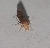 prickle headed moth mimic Caddisfly Tricoptera Airlie Beach P1020269 (Steve & Alison1) Tags: prickle headed moth wing bark lice psocoptera airlie beach mimic caddisfly tricoptera