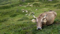 Hello! (Daphne-8) Tags: cow kuh braunvieh brown koe mucca vache switzerland suisse schweiz zwitserland svizzera svizra suiza