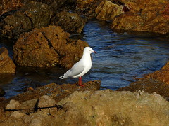 Gull (Lesley A Butler) Tags: australia autumn robe sa